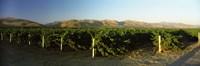 Vineyard on a landscape, Santa Ynez Valley, Santa Barbara County, California, USA Fine-Art Print