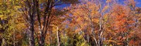 Trees in autumn, Vermont, USA Fine-Art Print