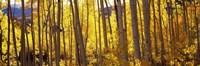 Aspen tree trunks and foliage in autumn, Colorado, USA Fine-Art Print