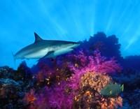 Caribbean Reef shark (Carcharhinus perezi) and Soft corals in the ocean Fine-Art Print