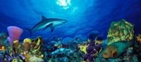 Caribbean Reef shark (Carcharhinus perezi) Rainbow Parrotfish (Scarus guacamaia) in the sea Fine-Art Print
