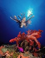 Lionfish (Pteropterus radiata) and Squarespot anthias (Pseudanthias pleurotaenia) with soft corals in the ocean Fine-Art Print