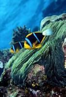 Allard's anemonefish (Amphiprion allardi) in the ocean Fine-Art Print