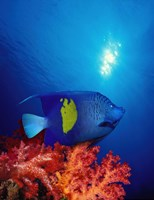 Yellow-Banded angelfish (Pomacanthus maculosus) with soft corals in the ocean Fine-Art Print