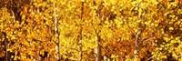 Aspen trees with yellow foliage, Colorado, USA Fine-Art Print