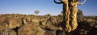 Quiver tree (Aloe dichotoma) growing in a desert, Namibia Fine-Art Print