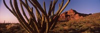 Organ Pipe cactus on a landscape, Organ Pipe Cactus National Monument, Arizona Fine-Art Print