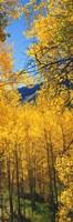 Valley with Aspen trees in autumn, Colorado, USA Fine-Art Print