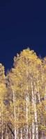 Low angle view of Aspen trees, Colorado, USA Fine-Art Print