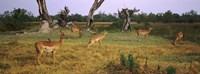 Herd of impalas (Aepyceros Melampus) grazing in a field, Moremi Wildlife Reserve, Botswana Fine-Art Print