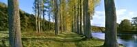 Poplar Treelined at the riverside, River Tweed, Maxton, Newtown St. Boswells, Scotland Fine-Art Print
