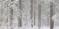 Snow covered Ponderosa Pine trees in a forest, Indian Ford, Oregon, USA Fine-Art Print