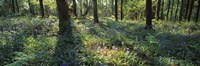Bluebells growing in a forest, Exe Valley, Devon, England Fine-Art Print