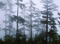 Silhouette of trees with fog, Douglas Fir, Hemlock Tree, Olympic Mountains, Olympic National Park, Washington State, USA Fine-Art Print
