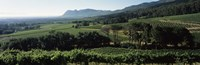Vineyard with mountains, Constantiaberg, Constantia, Cape Winelands, Cape Town, Western Cape Province, South Africa Fine-Art Print
