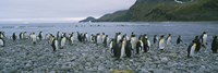 Colony of King Penguins, South Georgia Island, Antarctica Fine-Art Print