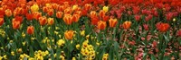 Tulips in a field, St. James's Park, City Of Westminster, London, England Fine-Art Print