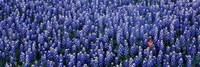 Bluebonnet flowers in a field, Hill county, Texas, USA Fine-Art Print