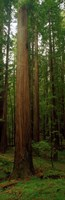 Giant Redwood Trees Ave of the Giants Redwood National Park Northern CA Fine-Art Print