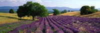 Flowers In Field, Lavender Field, La Drome Provence, France Fine-Art Print