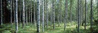 White Birches Aulanko National Park Finland Fine-Art Print