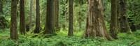 Trees in a rainforest, Hoh Rainforest, Olympic National Park, Washington State, USA Fine-Art Print