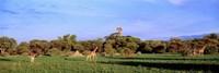 Giraffes in a field, Moremi Wildlife Reserve, Botswana, South Africa Fine-Art Print