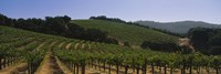 Vineyard on a landscape, Napa Valley, California, USA Fine-Art Print