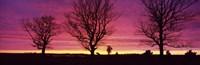 Oak Trees, Sunset, Sweden Fine-Art Print