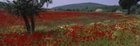 Red poppies in a field, Turkey Fine-Art Print