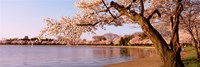 Cherry blossom tree along a lake, Potomac Park, Washington DC, USA Fine-Art Print