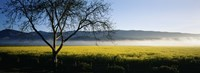 Fog over crops in a field, Napa Valley, California, USA Fine-Art Print