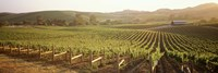 Panoramic view of vineyards, Carneros District, Napa Valley, California, USA Fine-Art Print