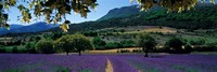 Mountain behind a lavender field, Provence, France Fine-Art Print