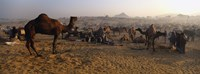 Camels in a fair, Pushkar Camel Fair, Pushkar, Rajasthan, India Fine-Art Print