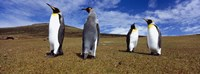 Four King penguins standing on a landscape, Falkland Islands (Aptenodytes patagonicus) Fine-Art Print