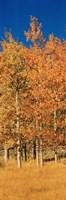 Aspen Trees, Lee Vining, California Fine-Art Print
