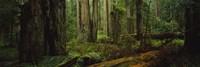 Hoh Rainforest Trees, Olympic National Park Fine-Art Print