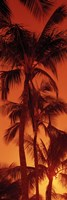 Low angle view of palm trees at dusk, Hawaii Fine-Art Print