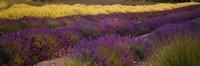 Lavender and Yellow Flower fields, Sequim, Washington, USA Fine-Art Print