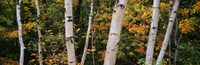 Birch trees in a forest, New Hampshire, USA Fine-Art Print