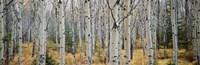 Aspen trees in a forest, Alberta, Canada Fine-Art Print