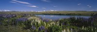 Flowers blooming at the lakeside, Lake Pukaki, Mt Cook, Mt Cook National Park, South Island, New Zealand Fine-Art Print