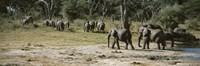 African elephants (Loxodonta africana) in a forest, Hwange National Park, Matabeleland North, Zimbabwe Fine-Art Print