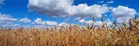 Wheat crop growing in a field, near Edmonton, Alberta, Canada Fine-Art Print