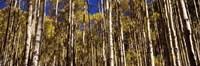 Aspen tree trunks in autumn, Colorado, USA Fine-Art Print