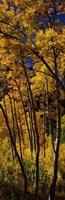 Tall Aspen trees in autumn, Colorado, USA Fine-Art Print
