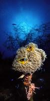 Sea anemone and Allard's anemonefish (Amphiprion allardi) in the ocean Fine-Art Print