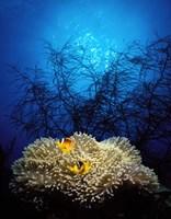 Mat anemone and Allard's anemonefish (Amphiprion allardi) in the ocean Fine-Art Print