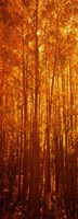 Aspen trees at sunrise in autumn, Colorado (vertical) Fine-Art Print